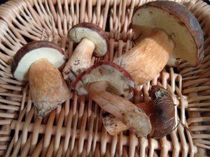 cueillette cepes lyon champignon
